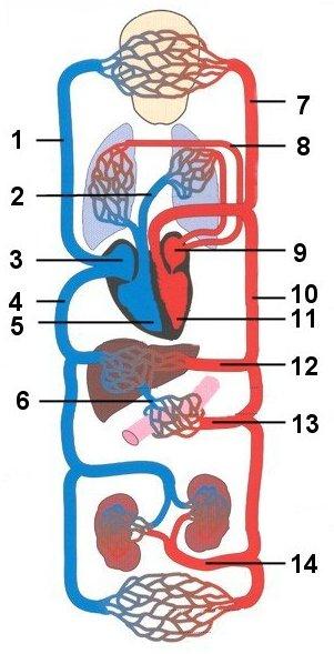 verwijden bloedvaten