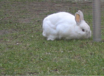 Geslacht konijn controleren